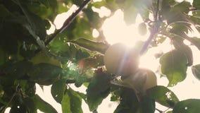 Τα όμορφα μήλα ωριμάζουν σε ένα δέντρο στις ακτίνες του ήλιου Γεωργική επιχείρηση Πράσινα μήλα στον κλάδο οργανικός απόθεμα βίντεο