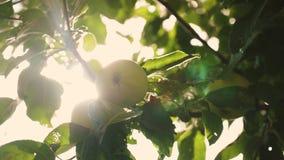 Τα όμορφα μήλα ωριμάζουν στο δέντρο γεωργική επιχείρηση Πράσινα μήλα στον κλάδο οργανικά φρούτα Μήλα στο δέντρο φιλμ μικρού μήκους