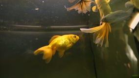 Τα όμορφα μεγάλα πτερύγια ψαριών χρώματος που κολυμπούν στο ενυδρείο στην έκθεση, κάνουν την επιθυμία απόθεμα βίντεο