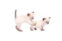 Τα όμορφα μικρά σιαμέζα γατάκια παίζουν στη κάμερα στο άσπρο υπόβαθρο η ανασκόπηση απομόνωσε το λευκό Στοκ Φωτογραφίες