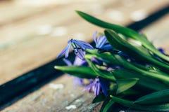 Τα όμορφα μπλε snowdrops βρίσκονται σε έναν κατασκευασμένο ξύλινο πίνακα Στοκ Φωτογραφίες