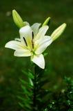 Τα όμορφα λουλούδια κρίνων αυξάνονται το καλοκαίρι Στοκ Εικόνες
