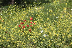 Τα όμορφα λουλούδια στο Ισραήλ τοποθετούν Gilboa Carmel Στοκ φωτογραφία με δικαίωμα ελεύθερης χρήσης