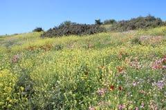 Τα όμορφα λουλούδια στο Ισραήλ τοποθετούν Gilboa Carmel Στοκ Φωτογραφίες