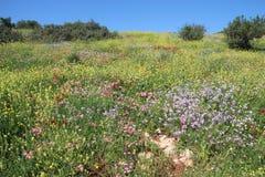Τα όμορφα λουλούδια στο Ισραήλ τοποθετούν Gilboa Carmel Στοκ Εικόνα