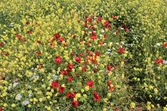 Τα όμορφα λουλούδια ταπήτων των λουλουδιών στο Ισραήλ τοποθετούν Gilboa Carmel Στοκ φωτογραφίες με δικαίωμα ελεύθερης χρήσης
