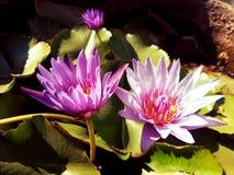 Τα όμορφα λουλούδια λωτού Στοκ Φωτογραφίες
