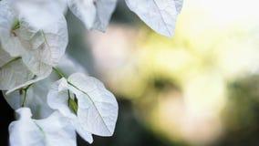 Τα όμορφα λουλούδια Bougainvillea ή τα λουλούδια εγγράφου κλείνουν επάνω απόθεμα βίντεο