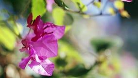 Τα όμορφα λουλούδια Bougainvillea ή τα λουλούδια εγγράφου κλείνουν επάνω φιλμ μικρού μήκους