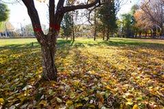 Τα όμορφα πεσμένα φύλλα και τα δέντρα στην ανατολή πάρκων Στοκ Εικόνα