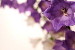 Τα όμορφα πορφυρά κουδούνια σας προσκαλούν για να τους μυρίσουν στοκ φωτογραφία