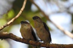 Τα όμορφα πουλιά ζουν στο Ομάν στοκ φωτογραφία με δικαίωμα ελεύθερης χρήσης