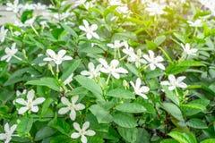 Τα όμορφα πράσινα φύλλα φυτεύουν με θάμνους και λεπτοκαμωμένα έναστρα καθαρά άσπρα πέταλα Snowflake του ευώδους λουλουδιού που αν στοκ εικόνα