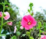 Τα όμορφα ρόδινα λουλούδια στον κήπο στοκ φωτογραφία με δικαίωμα ελεύθερης χρήσης