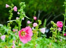 Τα όμορφα ρόδινα λουλούδια στον κήπο στοκ φωτογραφίες με δικαίωμα ελεύθερης χρήσης