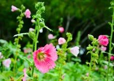 Τα όμορφα ρόδινα λουλούδια στον κήπο στοκ φωτογραφίες