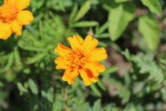Τα όμορφα φωτεινά κίτρινα λουλούδια έχουν τα οδοντωτά πέταλα Στοκ Φωτογραφίες