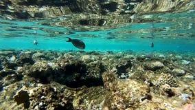 Τα όμορφα ψάρια κολυμπούν πέρα από τα φαράγγια κοραλλιογενών υφάλων στη Ερυθρά Θάλασσα, σε αργή κίνηση απόθεμα βίντεο