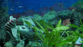 Τα όμορφα ψάρια κολυμπούν στο νερό ενυδρείων απόθεμα βίντεο