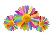 τα όμορφα chamomiles χρωμάτισαν πολ& Στοκ Εικόνες