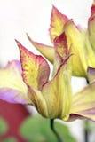 τα όμορφα clematis κλείνουν επάν&omega Στοκ εικόνες με δικαίωμα ελεύθερης χρήσης