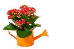 Τα όμορφα jasmine λουλούδια με τα φύλλα στο πότισμα μπορούν Στοκ εικόνες με δικαίωμα ελεύθερης χρήσης