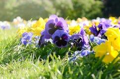 Τα όμορφα pansies στο πράσινο στον κήπο άνοιξη ανασκόπησης ηλιόλο Στοκ φωτογραφίες με δικαίωμα ελεύθερης χρήσης