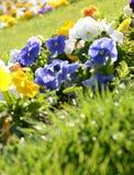 Τα όμορφα pansies στο πράσινο στον κήπο άνοιξη ανασκόπησης ηλιόλο Στοκ φωτογραφία με δικαίωμα ελεύθερης χρήσης