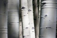 Τα δύσκολα δέντρα της Aspen βουνών του Κολοράντο εμφανίζονται να έχουν στοκ εικόνες με δικαίωμα ελεύθερης χρήσης