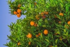 Τα ώριμα πορτοκάλια Στοκ Φωτογραφία