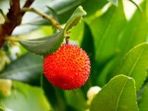 Τα ώριμα φρούτα του δέντρου φραουλών Στοκ εικόνα με δικαίωμα ελεύθερης χρήσης