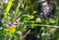 Τα agestis Aricia πεταλούδων κάθονται στο μικρό κίτρινο falcata Medicago λουλουδιών στο θερινό λιβάδι, τοπ άποψη Στοκ Εικόνες