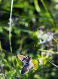 Τα agestis Aricia πεταλούδων κάθονται στο μικρό κίτρινο falcata Medicago λουλουδιών στο θερινό λιβάδι, τοπ άποψη Στοκ φωτογραφίες με δικαίωμα ελεύθερης χρήσης