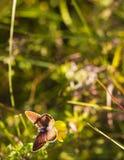 Τα agestis Aricia πεταλούδων κάθονται στο μικρό κίτρινο falcata Medicago λουλουδιών στο θερινό λιβάδι, τοπ άποψη Στοκ Φωτογραφίες