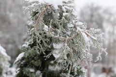 Τα arborvitae κλαδάκι κλείνουν επάνω μετά από τη θύελλα πάγου, βροχή Στοκ Φωτογραφίες