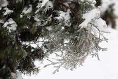 Τα arborvitae κλαδάκι κλείνουν επάνω μετά από τη θύελλα πάγου, βροχή Στοκ φωτογραφία με δικαίωμα ελεύθερης χρήσης