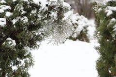 Τα arborvitae κλαδάκι κλείνουν επάνω μετά από τη θύελλα πάγου, βροχή Στοκ Εικόνες