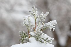 Τα arborvitae κλαδάκι κλείνουν επάνω μετά από τη θύελλα πάγου, βροχή Στοκ Φωτογραφία