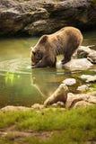 τα arctos αντέχουν το καφετί ursus Στοκ Φωτογραφίες