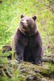 τα arctos αντέχουν το καφετί ursus Στοκ φωτογραφίες με δικαίωμα ελεύθερης χρήσης