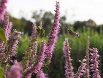Τα atropos Acherontia πετούν και πίνουν το νέκταρ από τα λουλούδια Στοκ εικόνα με δικαίωμα ελεύθερης χρήσης