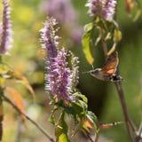 Τα atropos Acherontia πετούν και πίνουν το νέκταρ από τα λουλούδια Στοκ φωτογραφία με δικαίωμα ελεύθερης χρήσης