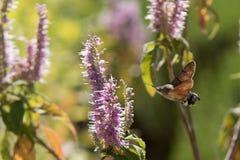 Τα atropos Acherontia πετούν και πίνουν το νέκταρ από τα λουλούδια Στοκ Εικόνες