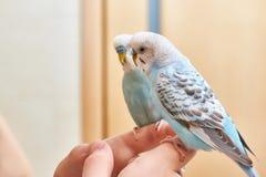 Τα budgies κάθονται στο δάχτυλο κοντά στον καθρέφτη μπλε παπαγάλος στοκ εικόνες με δικαίωμα ελεύθερης χρήσης