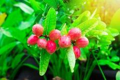 Τα carandas της Carissa ή οι σταφίδες της Βεγγάλης είναι ένα είδος ανθίζοντας θάμνου στη dogbane οικογένεια, Apocynaceae Παράγει  Στοκ Εικόνα