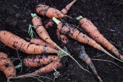 Τα carrotts Στοκ Εικόνες