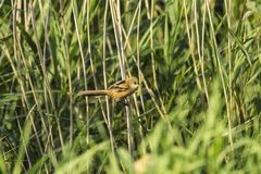 Τα chloris Chloris Greenfinch, είναι ένα μικρό πουλί passerine στη finch οικογένεια στοκ φωτογραφίες με δικαίωμα ελεύθερης χρήσης