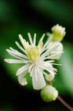 τα clematis κλείνουν το αειθαλές λουλούδι επάνω στο vitalba Στοκ εικόνα με δικαίωμα ελεύθερης χρήσης