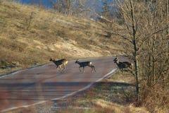 Τα deers αυγοτάραχων διασχίζουν την οδό Στοκ φωτογραφία με δικαίωμα ελεύθερης χρήσης