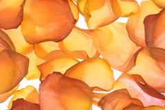 τα floral πέταλα ανασκόπησης αυξήθηκαν σειρά Στοκ εικόνα με δικαίωμα ελεύθερης χρήσης